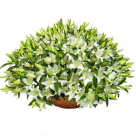 Корзина цветов со 101 лилией «Дыхание нежности»