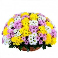Корзина цветов с 51 кустовой хризантемой «Чудо рождения»