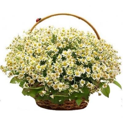 Корзина цветов со 101 ромашкой «Весеннее облако»