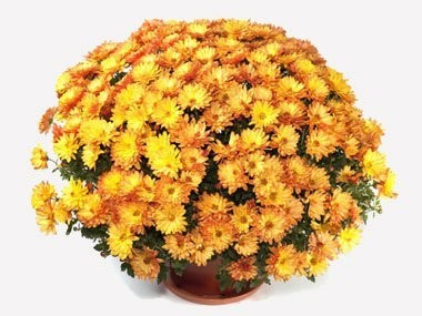 Корзина цветов с 51 кустовой хризантемой «Цвета счастья»